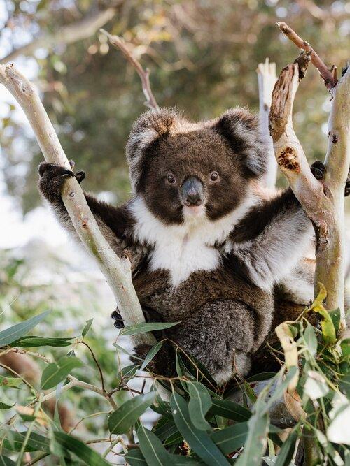 Adelaide Koala Rescue Rehabit Bearhugs For Australia