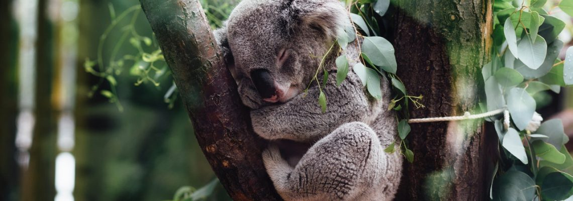FAQ Koala Bearhugs For Australia